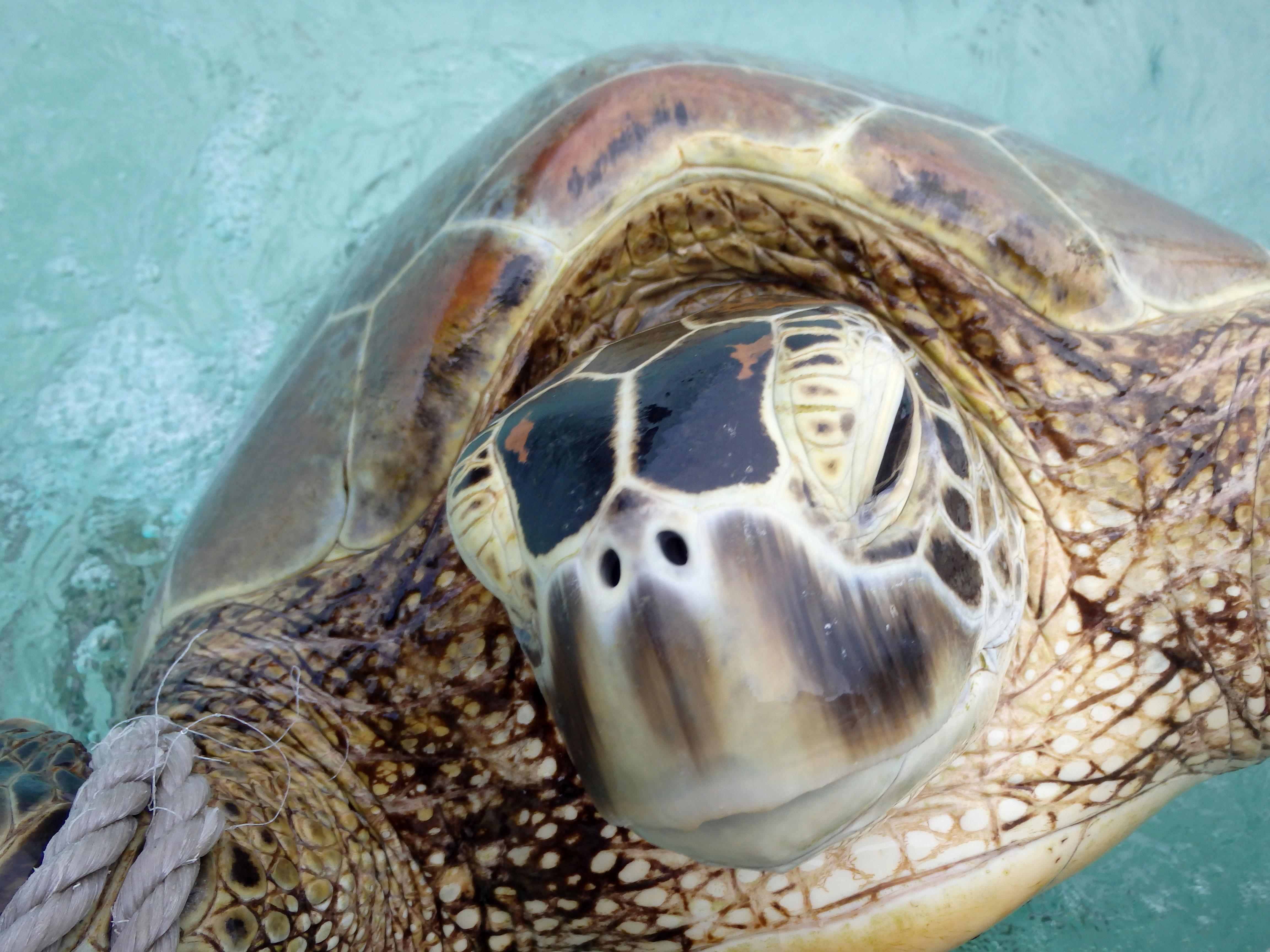 Grön havssköldpadda. Foto: Christine Hof / WWF