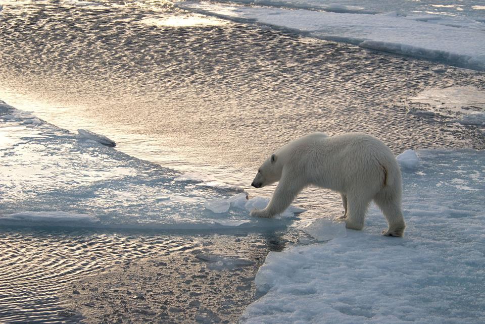 Isbjörn på isflak. Foto: Steve Morello / WWF.