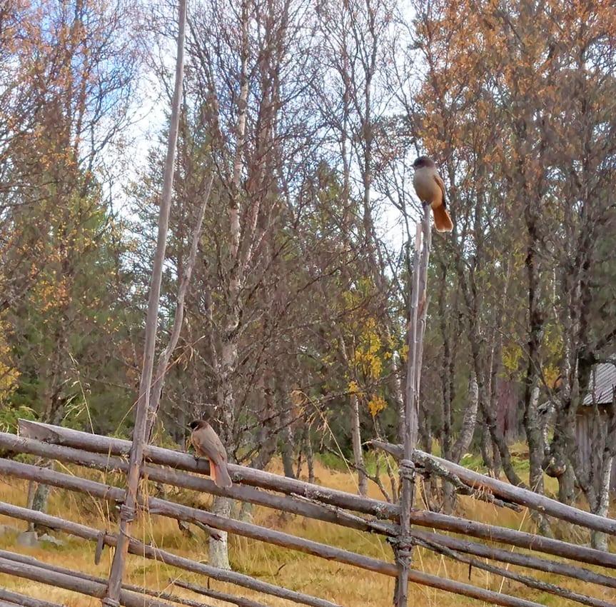 Lavskrikan är en av de många fågelarter som trivs i det nya naturreservatet Stormorvallen. Foto: Maria Jons, Länsstyrelsen i Dalarnas län.